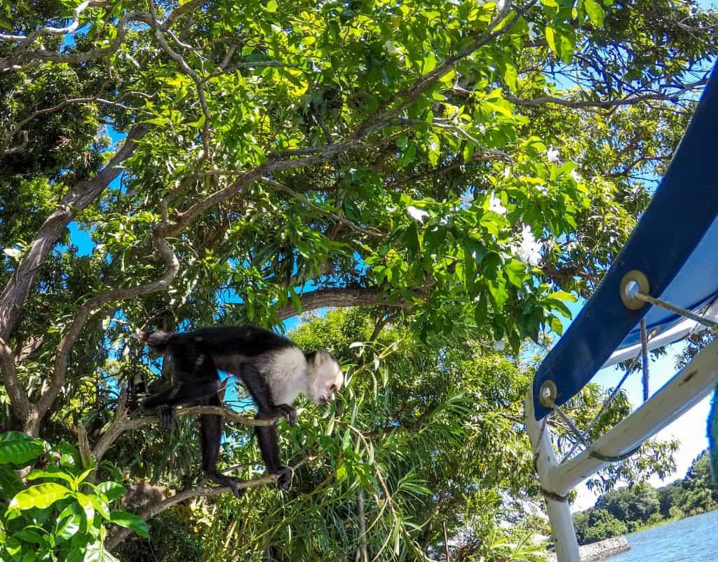 Monkeys at Archipelago Islands, Lake Nicaragua, Granada