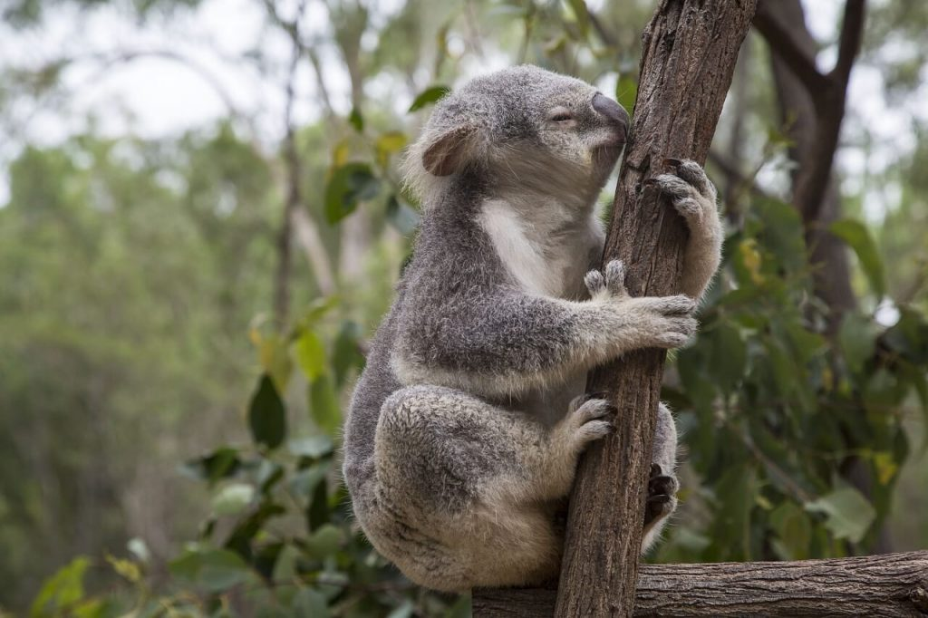 Lone Pine Koala Park - Brisbane with Kids
